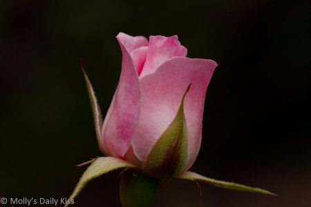 Rose image for You don't bring me flowers