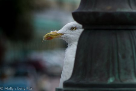 Gull peeking out from behind a pole for Pecking Order