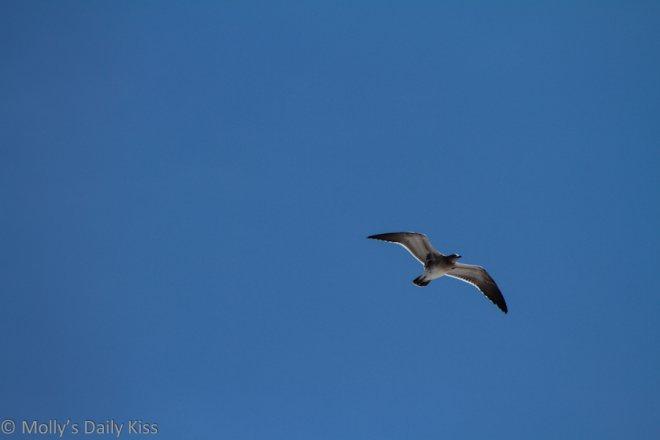 a gull flying for lift